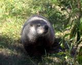 Groundhog9_27_04.jpg