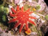 Spiny Sunstar