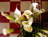 calla lily 7