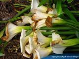 calla lily 10