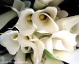 calla lily 11