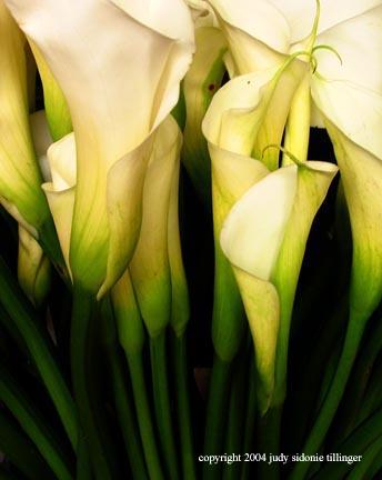 calla lily 5
