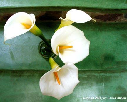 calla lily 13