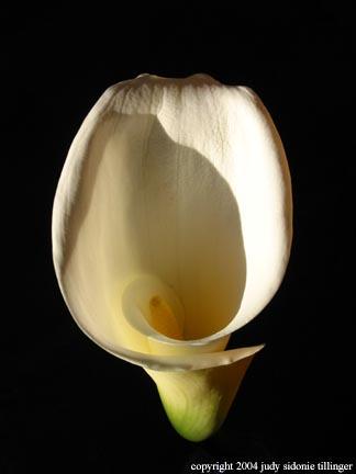 calla lily 1