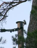 Woodpecker having a morning drum on a telephone post