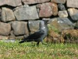 Jackdaw taking a walk