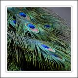 Peacock feathers ~ Stourhead
