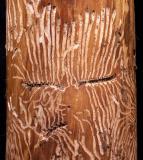 Bark beetle engraved face by fritzkurt