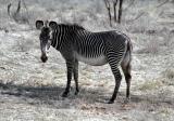 Grevvy Zebra