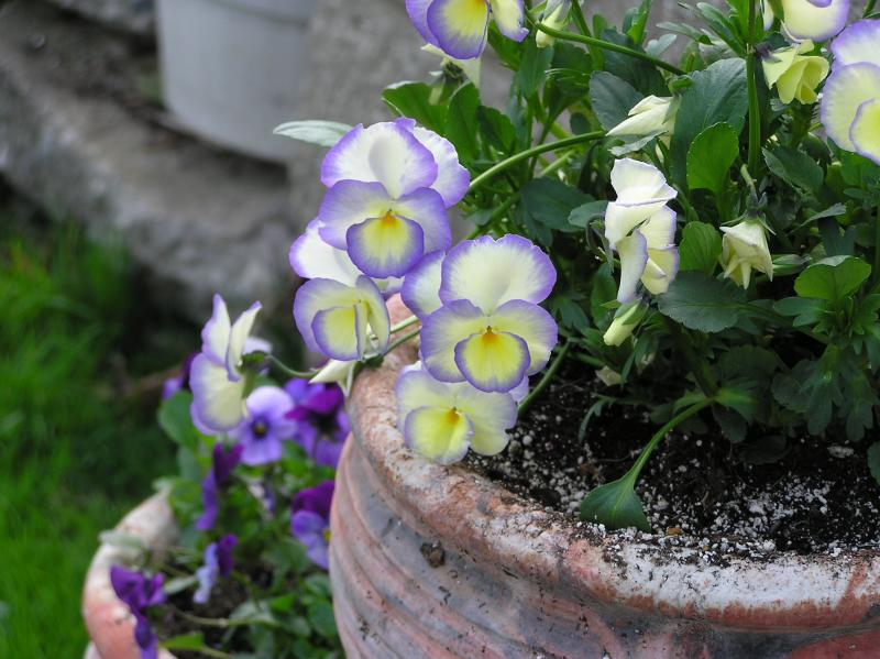 4/17    Violas from Lowes.   I love this variety, but I tossed out the tags.  Dont know the name unless I check the catalogs!