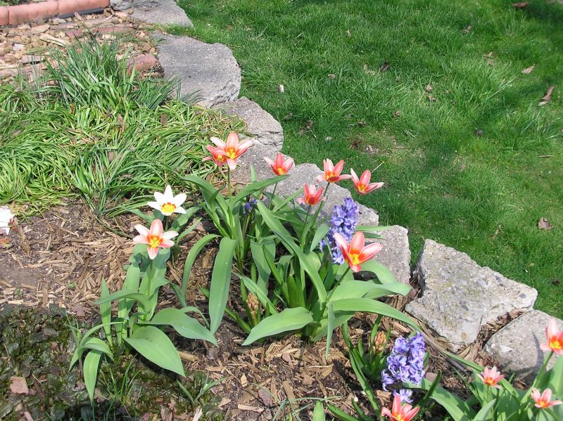 4/17   Early tulips getting old, newly blooming hyacinth.