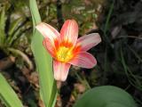 4/17  Close up of tulip.