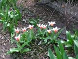 4/17   Another variety of early tulip.