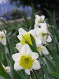 4/17    Two-tone daffodil.s under Maple.