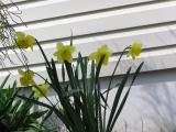 4/17    Daffodils under the threadleaf arborvitae.