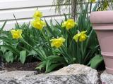 4/17   Daffies at the foot of arborvitae.