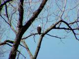 Bald Eagle - adult male - Lake 9 - 3-6-05