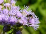 Fly on Mistflower.jpg