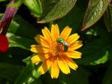 Sweat Bee on Wedelia