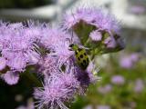 Green Bug on Mistflower