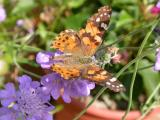 Painted Lady on Pincushion Flower, Dorsal View