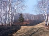 BurnedBirches5920.jpg