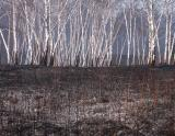 BurnedBirches5924.jpg