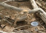 Horny toad, Portal, AZ, 2004