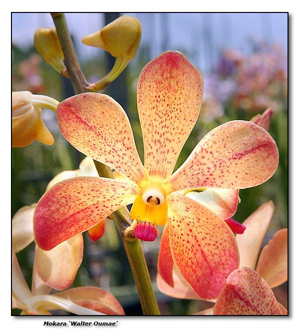 Orchid 21. Mokara Walter Oumae