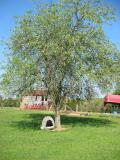 old apple tree with dog house under it, old barn in back ground that the chickens live in