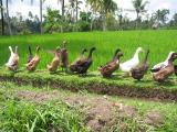 Ducks alone walk in rice field