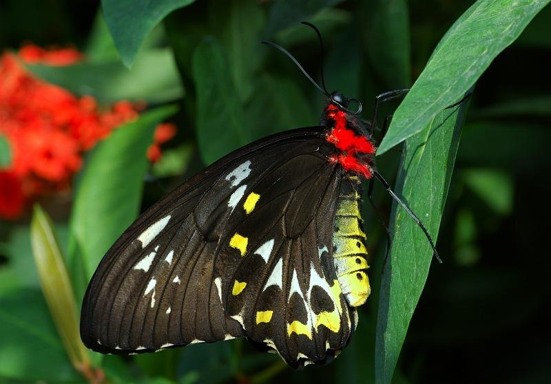 Cairns Birdwing.jpg