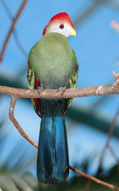 Red crested Turaco in Tree.jpg