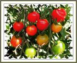 Colors of Tomatos