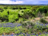 Plateau Bluebonnets