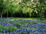 Bluebonnet Grove - WP1024x768-108