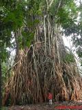 Jaya (aged 6) gives an idea of the size of this tree.