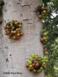 Cauliferous fig - so I am told