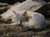 Not so Sly Fox.jpg