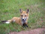 Young Red Fox.jpg