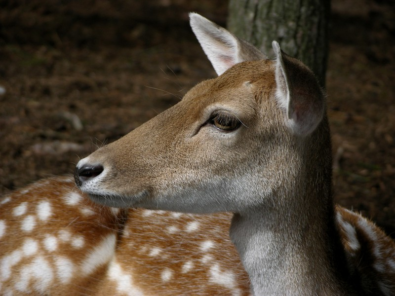 White Tailed Fawn.jpg