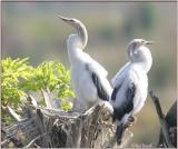 Anhinga nest 1- Chicks