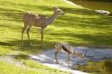 Impala--Gazelle.jpg