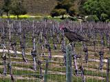 Vineyard buzzard