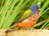 painted_bunting