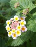 Lantana multicolored
