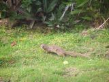 Wild mongoose
