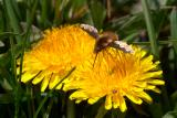 Bee Fly on Dandilion3.jpg