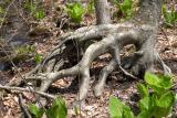 Wierd Tree Roots.jpg