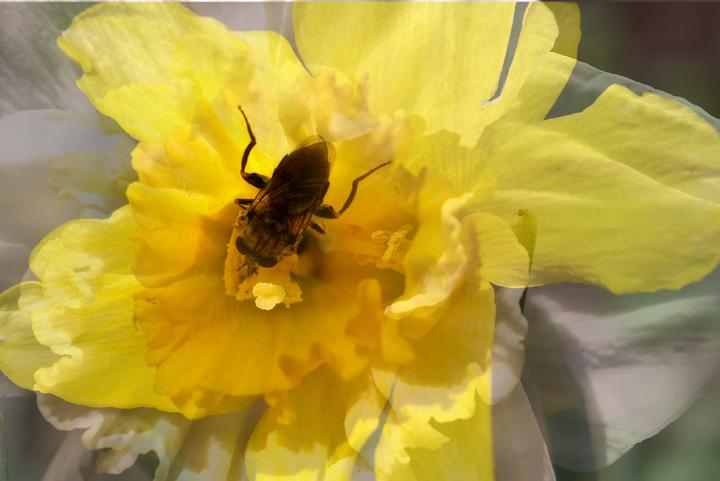 Multi exposed Daffodil.jpg